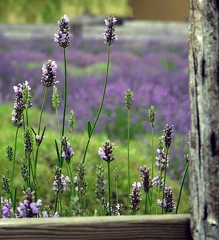 Lavender by Lynette McNees