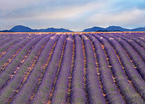 lavenders in Valensole by Pascal Desvignes
