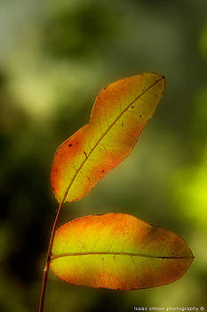 Isaac Silman - leaf