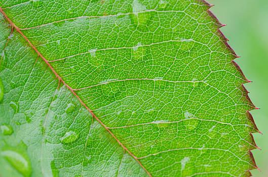 Margaret Pitcher - Leaf of the Rose
