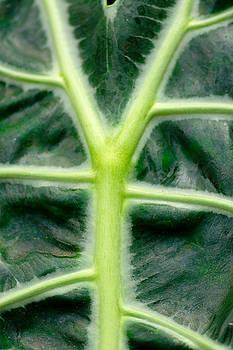 Leaf Venation II by Floyd Menezes