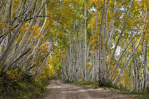 Leaning Aspens by Marta Alfred