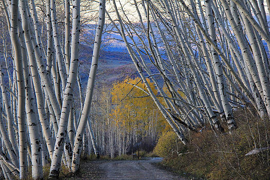 Leaning Aspens Waiting on Winter by Marta Alfred