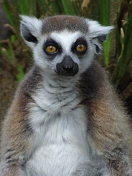 Lemur by Ademola kareem oshodi