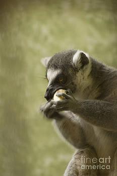 Heather Applegate - Lemur