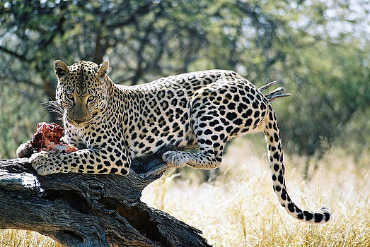 Leopard At Lunch In Namibia by Joe & Clair Carnegie / Libyan Soup