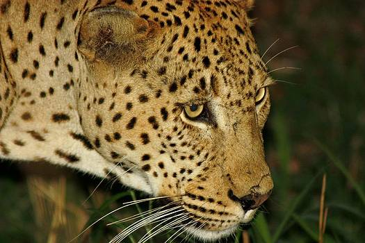 Leopard by Barbara Allm