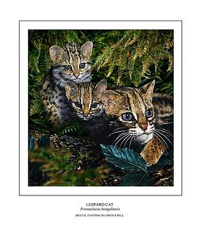 LEOPARD CAT Prionailurus bengalensis by Owen Bell