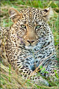 Leopard II by Bob Falconer