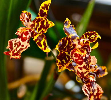 Ruth Edward Anderson - Leopard Orchid