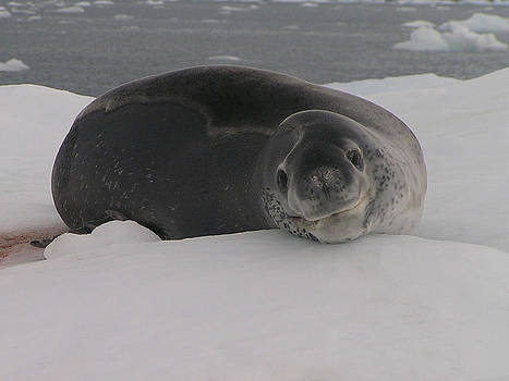 Leopard seal on an iceberg by Kathy Dunce