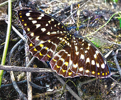 Roy Foos - Lexias pardalis Butterfly