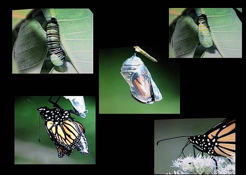 Life Cycle Of A Monarch by Victoria Sheldon