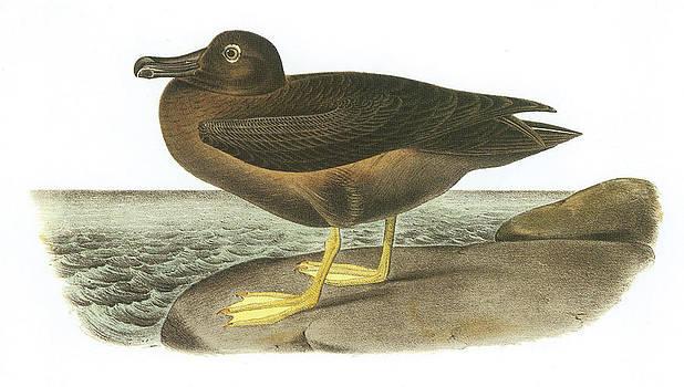 John James Audubon - Light-Mantled Sooty Albatross