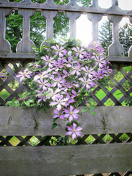 Chantal PhotoPix - Lilac Clematis Flower Vine Basking in Sun Rays on a Wood Garden Arbour