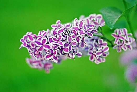 Lilac by Ekaterina Samorukova