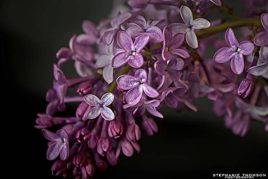 Lilac by Stephanie Thomson