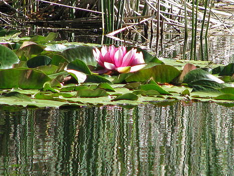 Forartsake Studio - Lilly Pads - Pink Beauty I