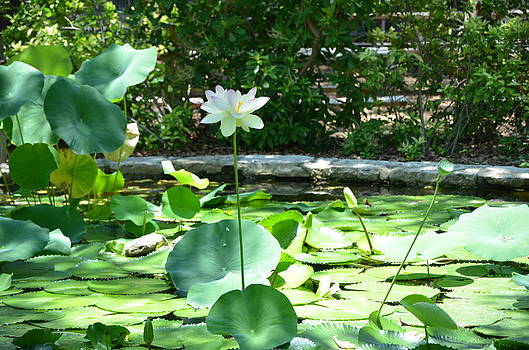 Lily in the Pond by Kathy Lewis