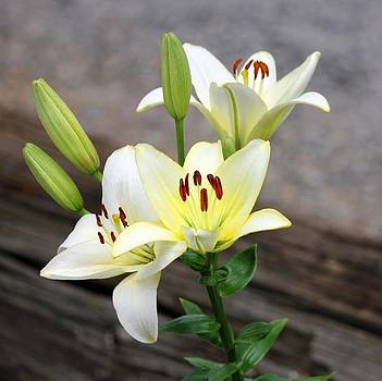 Lily by Jim Goldseth