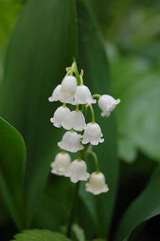 Lily of the Valley by Paul Thomley