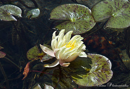 Lily Pad Flower 2 by Rob Nelms