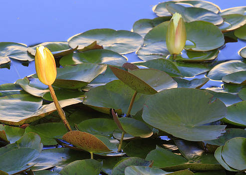 Lily Pads by Craig Sanders