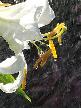 Lily Shower by Robin Hewitt