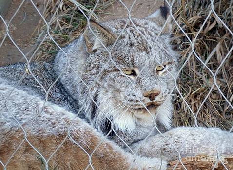 Linx at the Zoo by Donna Parlow