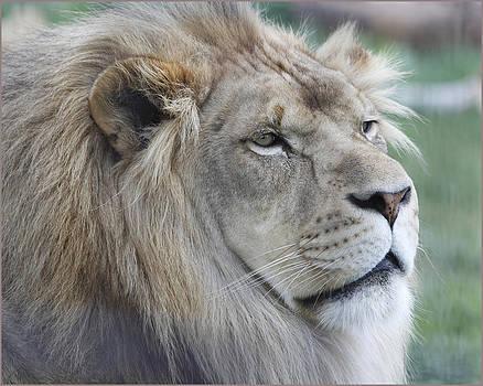 Lion 3 by Fuad Azmat