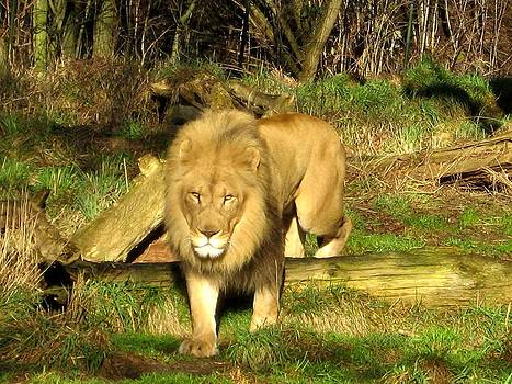 Lion by Bella  Shots