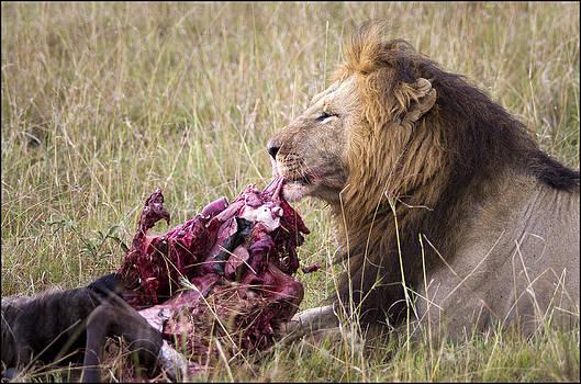Lion Kill by Bob Falconer