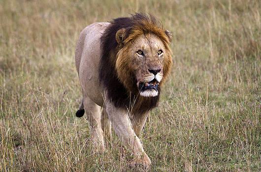 Lion King by Bob Falconer