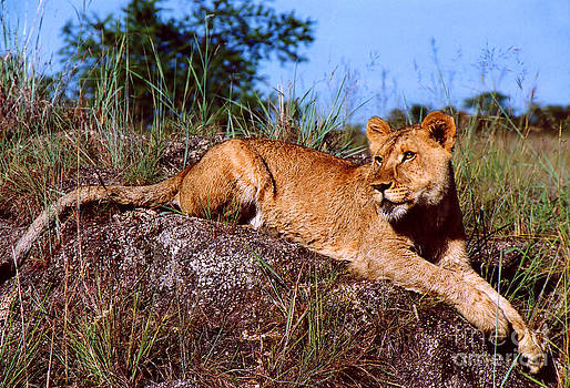 Lion Resting on Rock by Serena Bowles