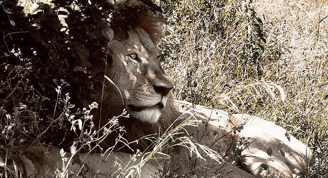 Lion by Tina Broccoli