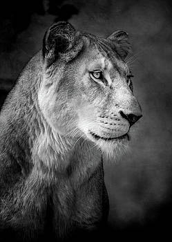 Lioness by Animus Photography