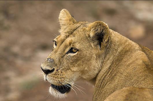 Lioness by Bob Falconer