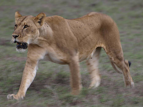 Lioness hunting by Kathy Dunce