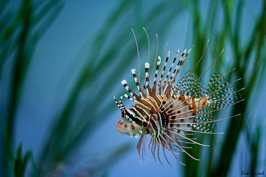 Lionfish by Erik Hovind