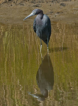 Lara Ellis - Little Blue Heron Assateague Island