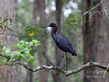 Little Blue Heron by Theresa Willingham