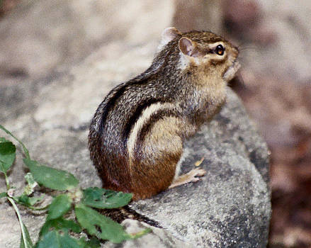 Little Chipmunk by Victoria Sheldon