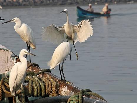 Little Egret Group by Sandeep Gangadharan