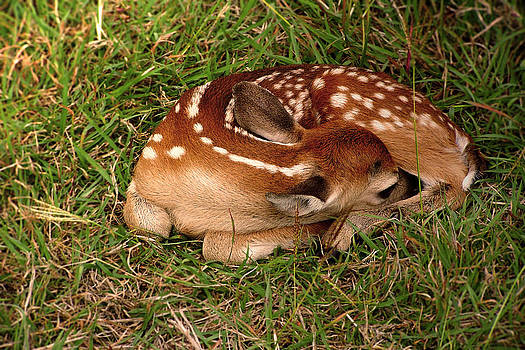 Little Fawn by Kelly Rader