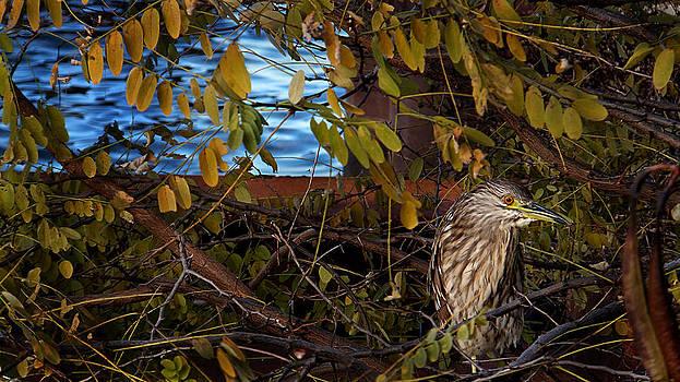 Little Green Heron by Bob Lennox
