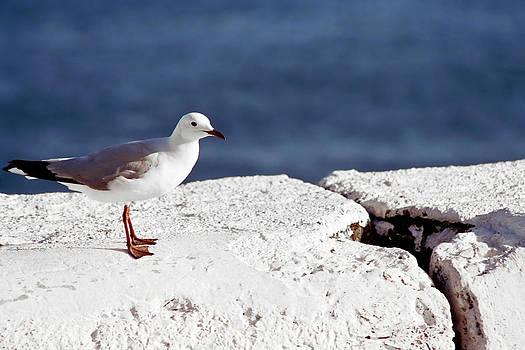Andrew  Hewett - Little Gull
