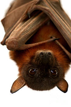 Little Red Flying Fox Hanging Out  by Serena Bowles