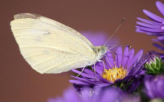 Annie Babineau - little white butterfly