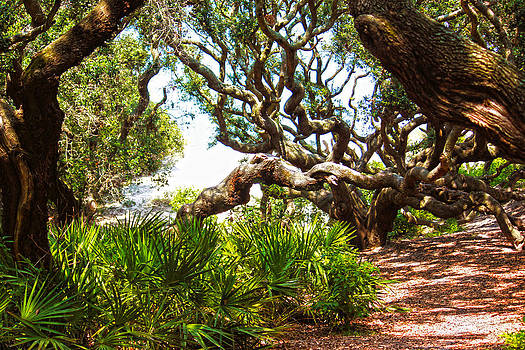 Live Oaks by Tanya Chesnell