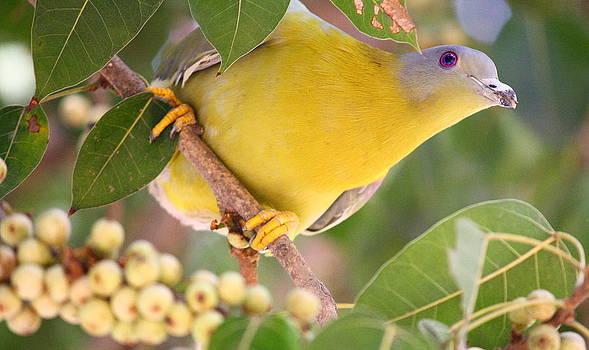 Liz Taylor Reincarnated-Yellow footed green pigeon by Greeshma Manari